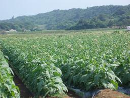 たばこ畑.JPG