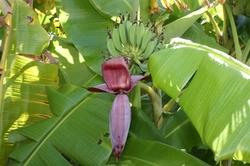 竹富 バナナの木.jpg